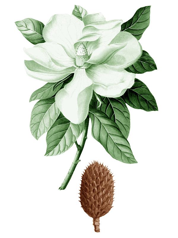 07_Magnolia kobus_k